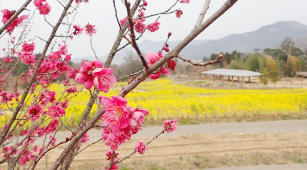 国営讃岐まんのう公園の菜の花と梅