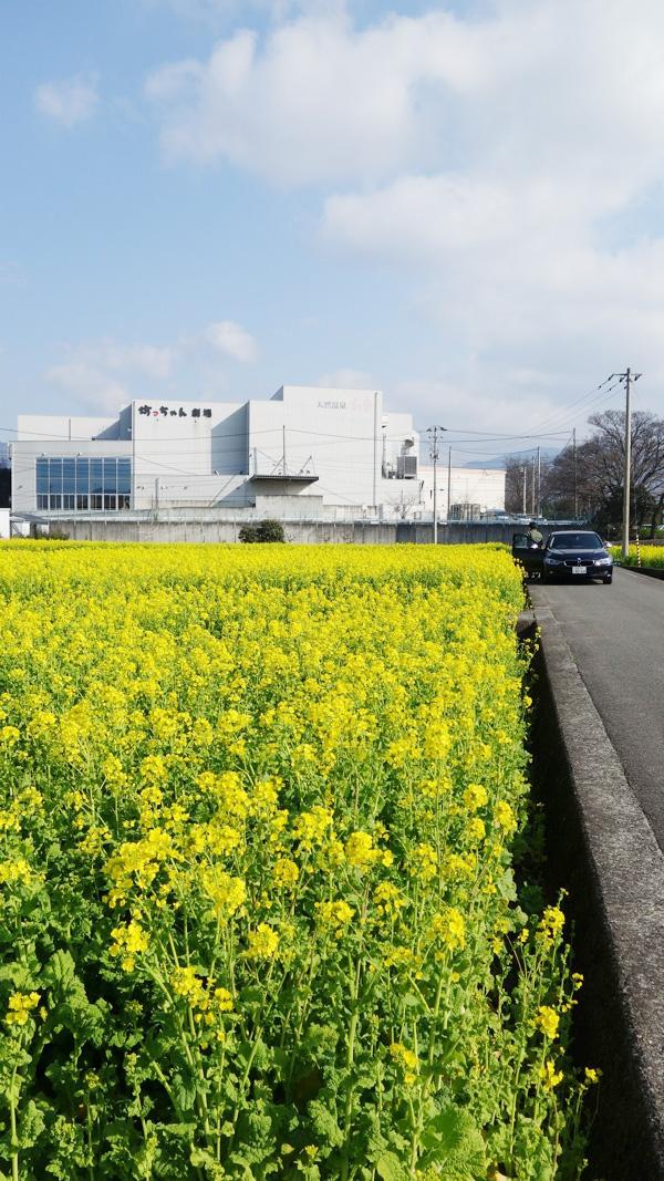 愛媛県東温市見奈良の菜の花畑