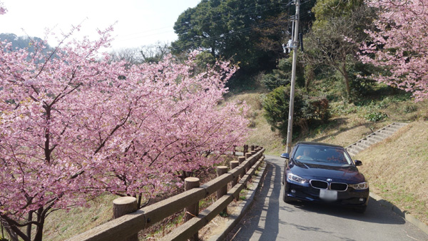 大角海浜公園の河津桜