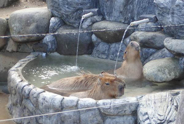 とべ動物園のカピバラ