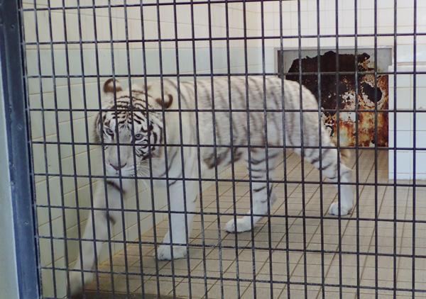 とべ動物園ホワイトタイガーそその