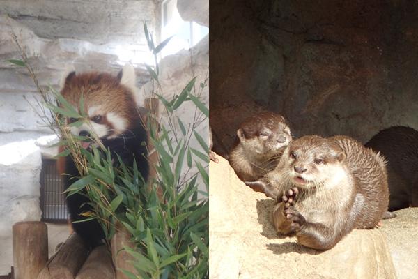 とべ動物園レッサーパンダとコツメカワウソ