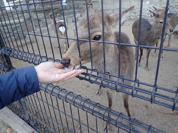北条鹿島の鹿さん餌やり